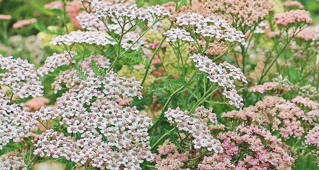 1 Yarrow Flowers