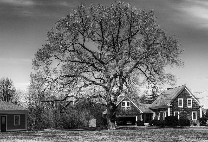 11 Large Shade Tree