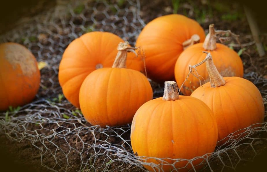 12 Pumpkin Harvest