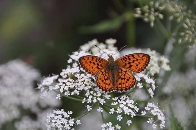 2 Butterfly on Yarrow