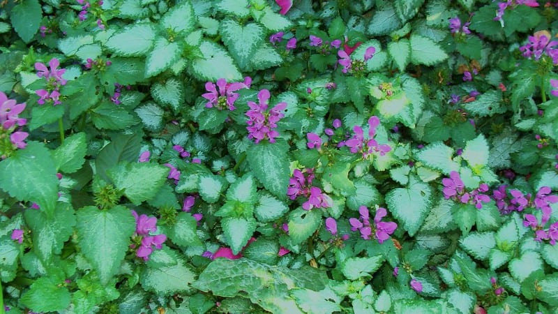 2 Ground Cover Plants