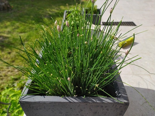 3 Chives thrive in pots