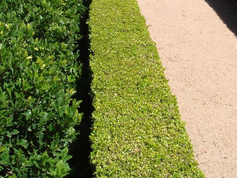 31 Boxwood and Evergreens