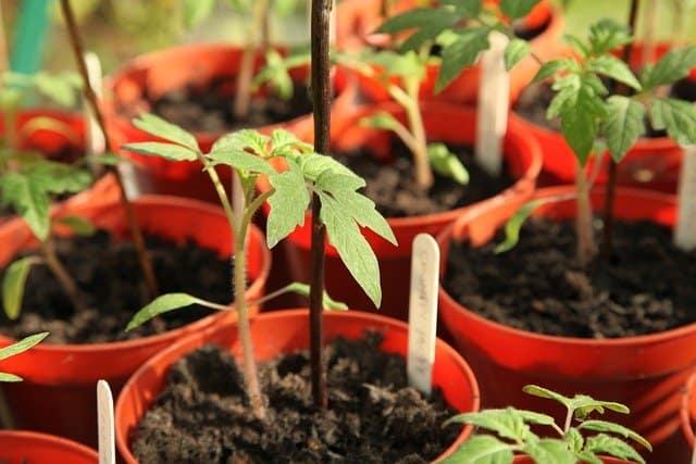 4 Begin fertilizing after planting