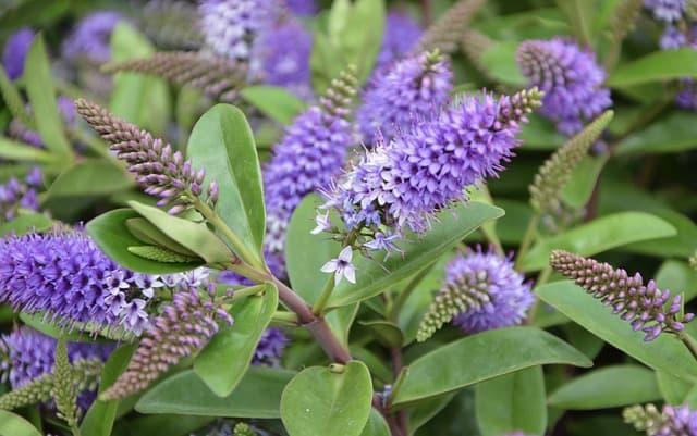 4 Butterfly bush enjoys vigorous growth