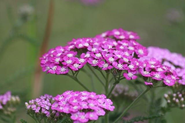 4 Purple Yarrow