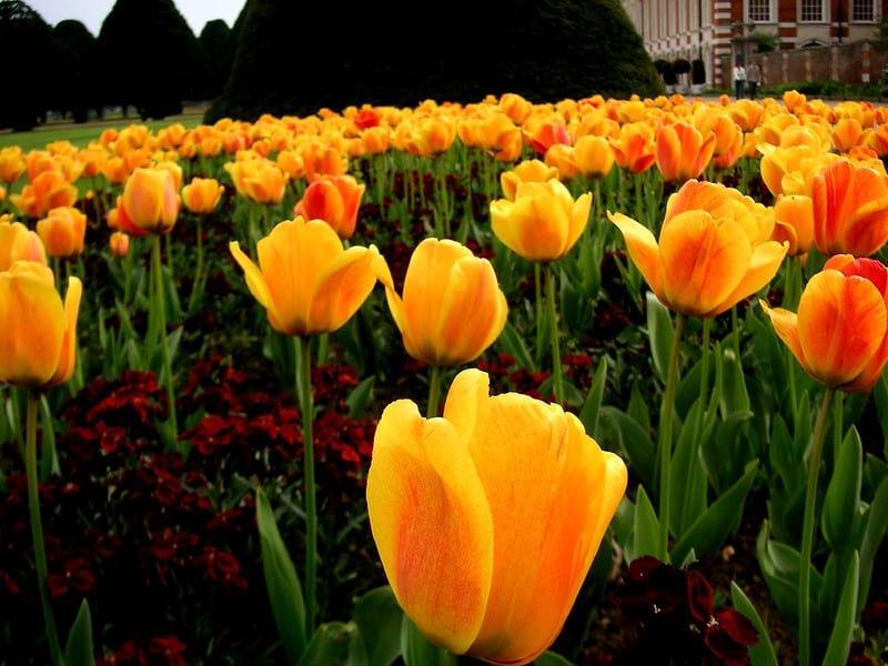 41 Single Color Tulips