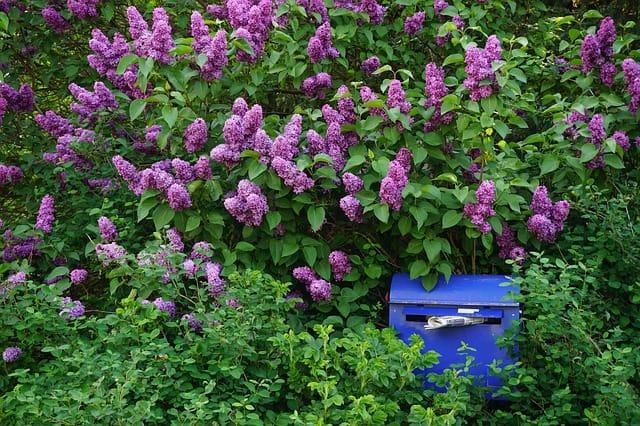 5 Lilac is a low maintenance bush
