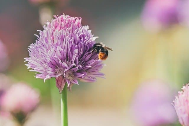 6 Chives are popular with pollinators