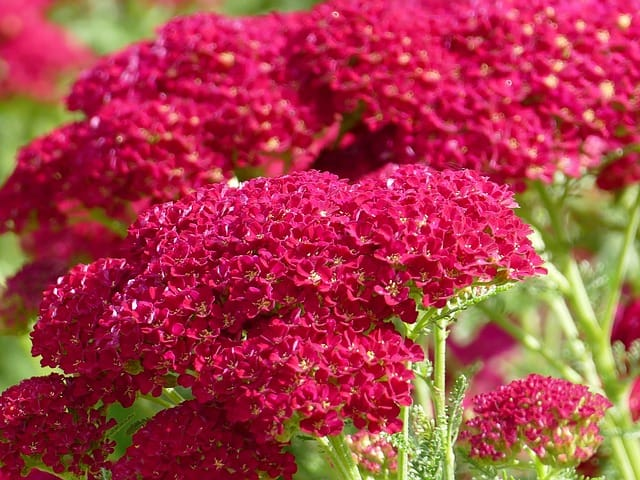 6 Red Yarrow