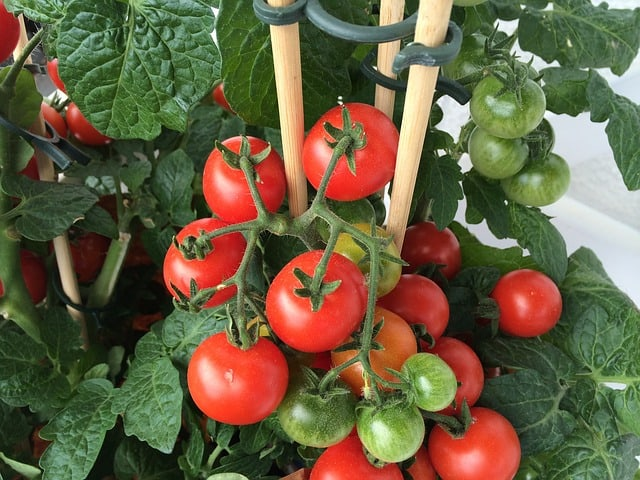 6 Tomato fertilizer keeps plants healthy
