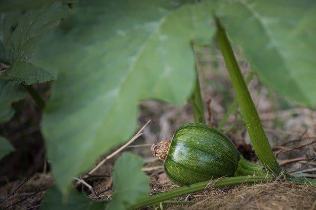 7 Baby Green Pumpkin