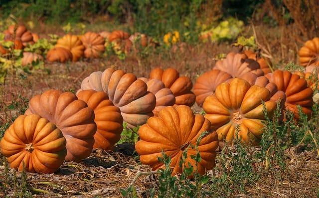 8 Pumpkin Field
