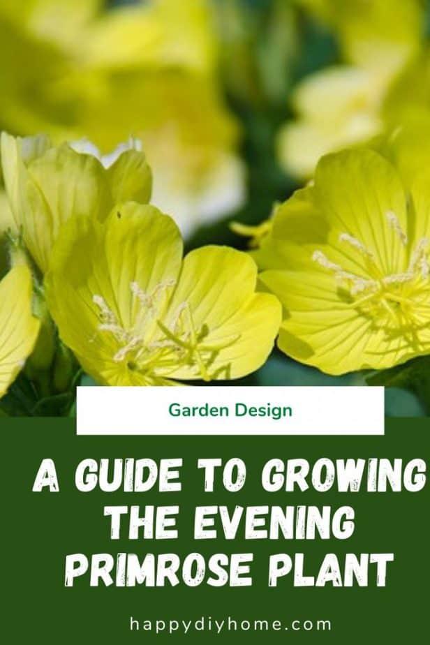 Evening Primrose Plant 1