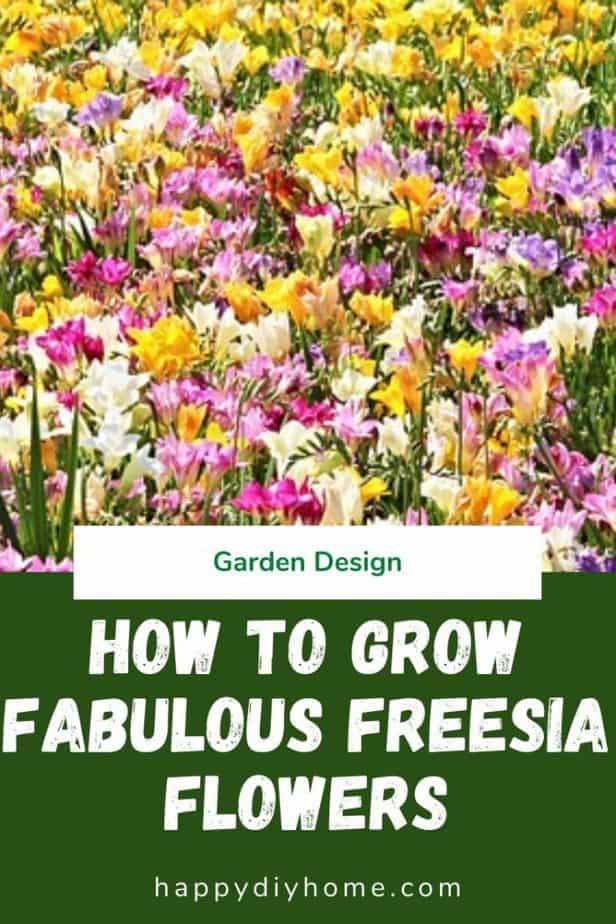 Freesia 1