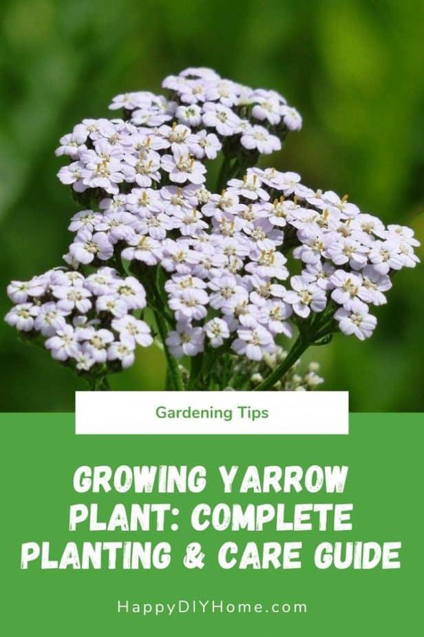 Growing Yarrow Plant