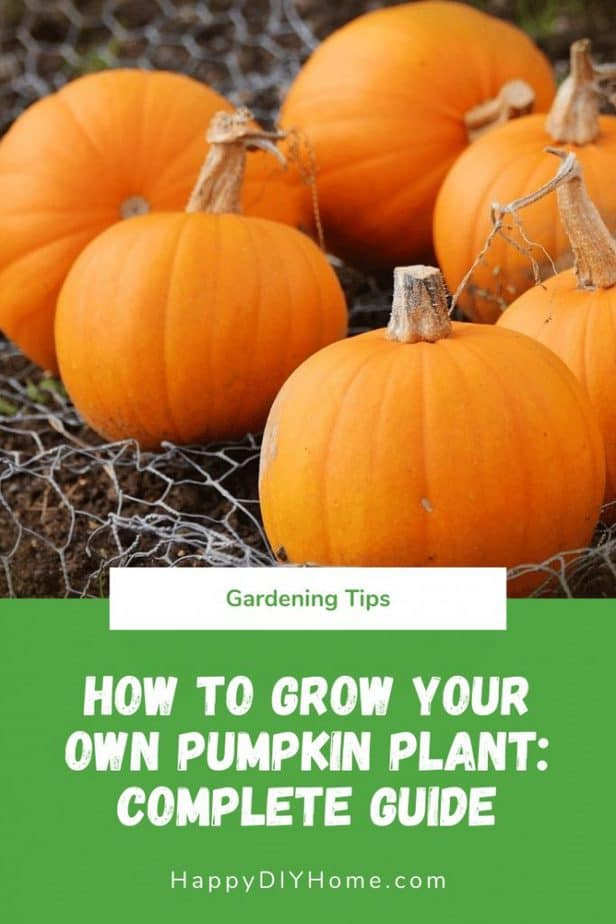 How to Grow Your Own Pumpkin Plant