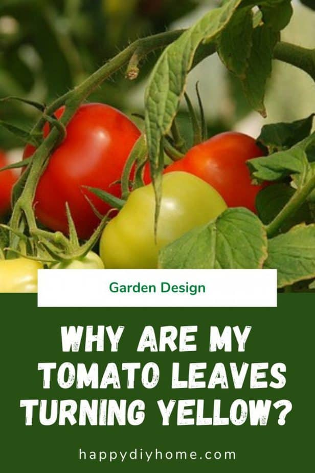 Tomato Leaves Turning Yellow 1