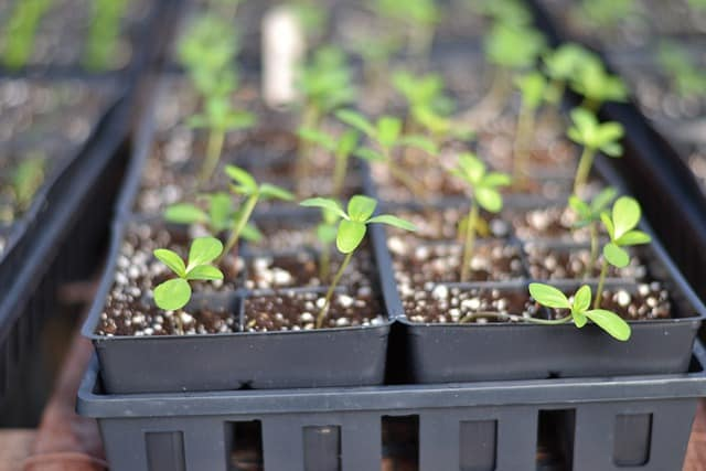 1 Acclimatize your seedlings