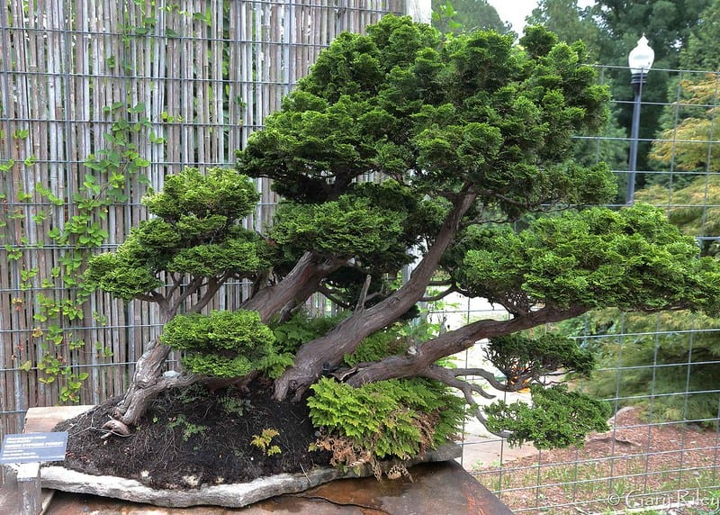 1 Hinoki Cypress