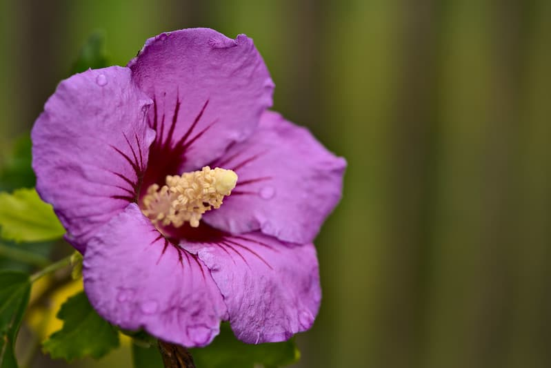 1 Rose of Sharon