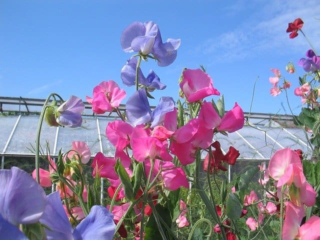 1 The attractive sweet pea flower