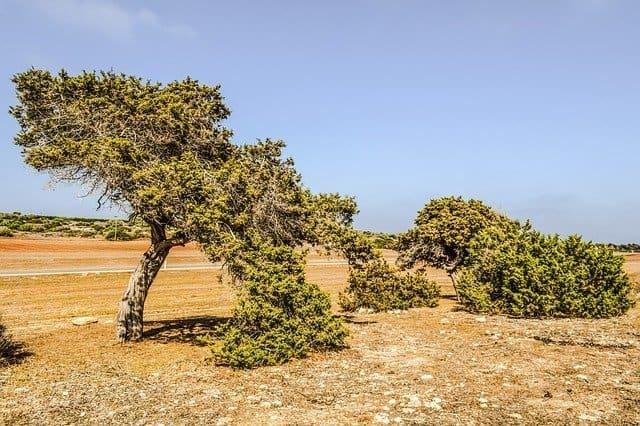 1 The versatile juniper tree