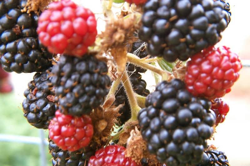 10 Boysenberry