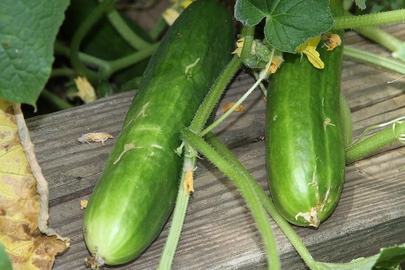 11 Double Yield Cucumbers 1