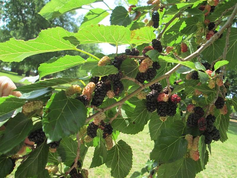11 Mullberry
