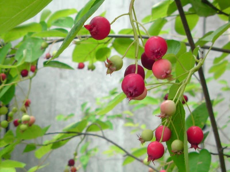 19 Juneberry
