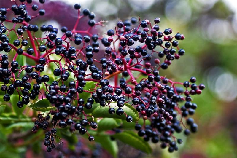 2 Elderberry