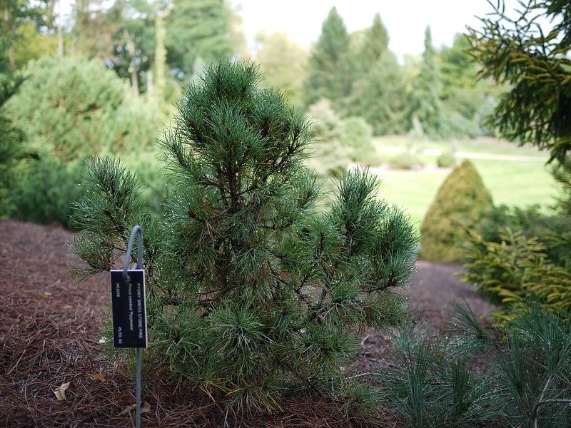 2 Tip Top Dwarf Swiss Stone Pine