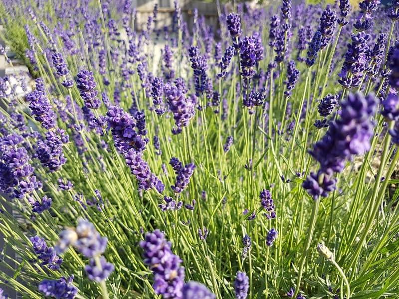 20 Lavender