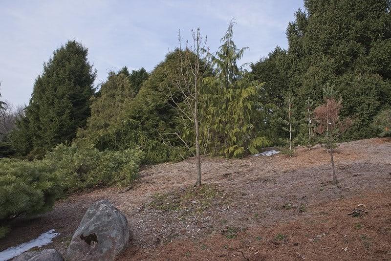 20 Peve Minaret Bald Cypress