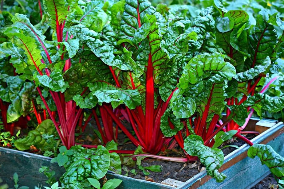 3 Red Swiss Chard in Garden Bed