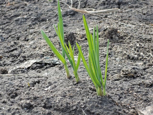 3 Shoots emerge in spring