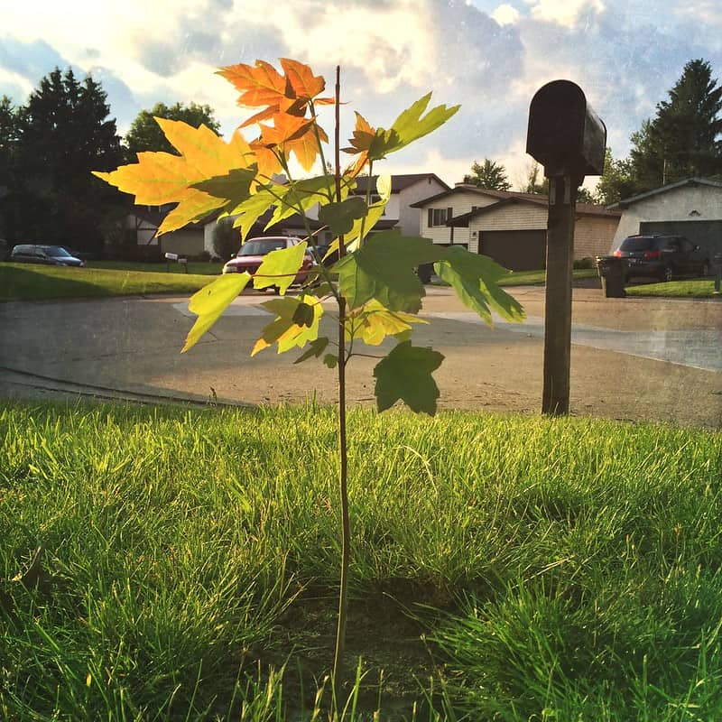 3 Tree Sapling