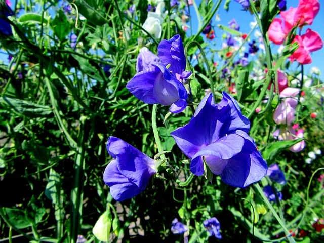 4 Deadhead to prolong flowering