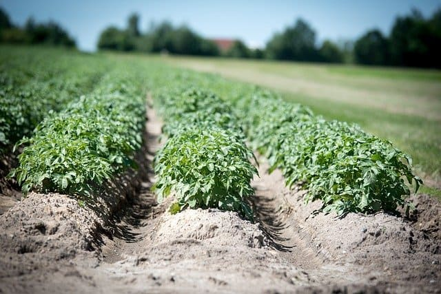4 Remove soil around the plant