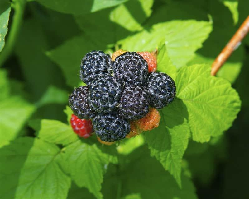 5 Black Raspberry