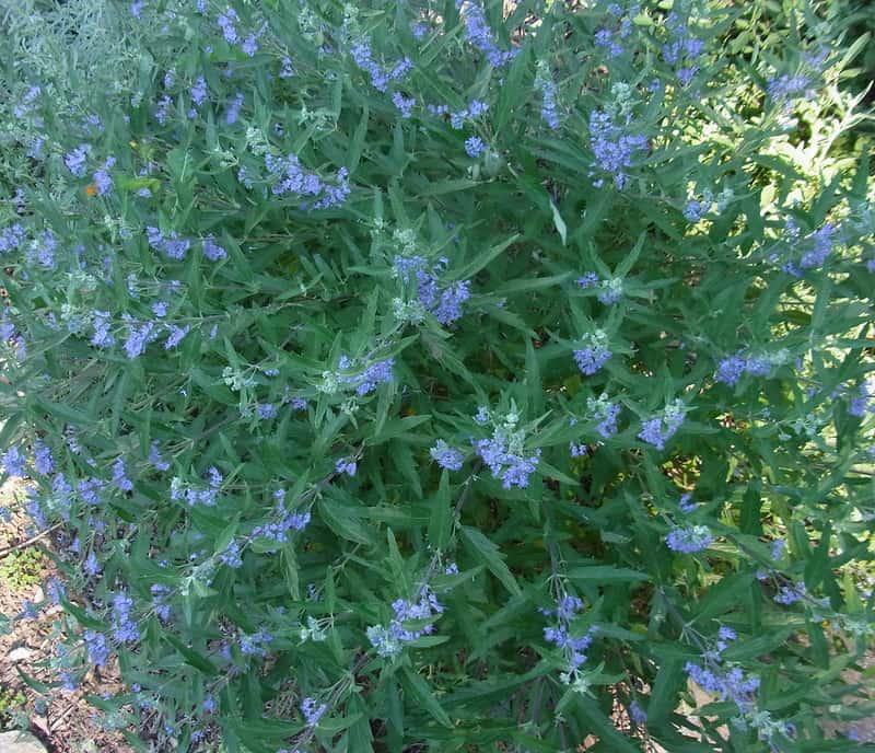 5 Bluebeard