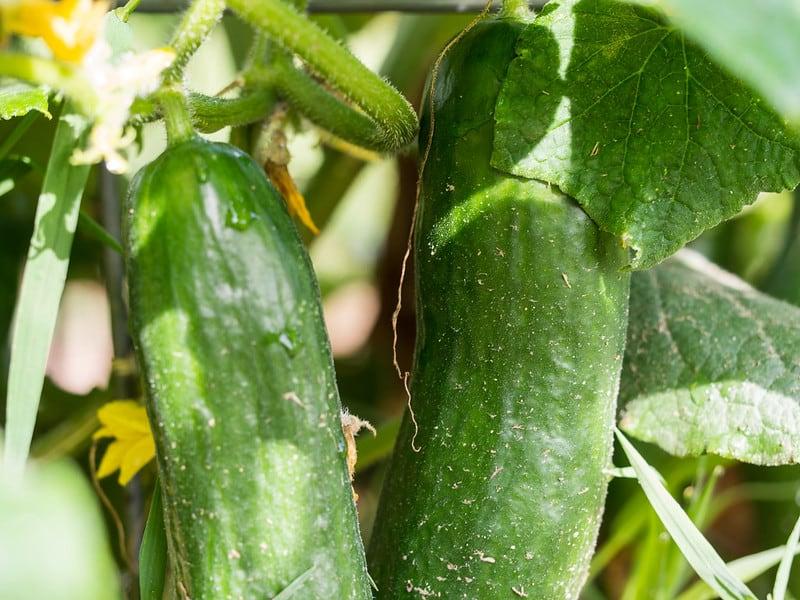 5 Muncher Cucumbers 1