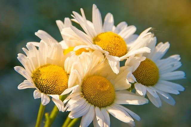 5 Plant close to chamomile