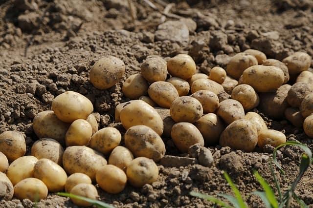 5 Potatoes cornerstone of vegetable garden