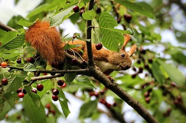 5 Squirrels love cherry trees