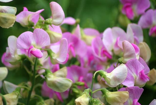 6 A fragrant ornamental flower