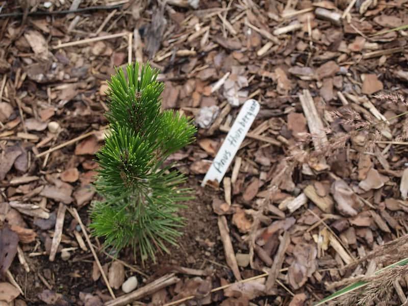 6 Dwarf Japanese Black Pine