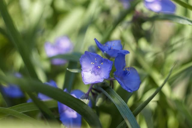 7 Blue Spiderwort