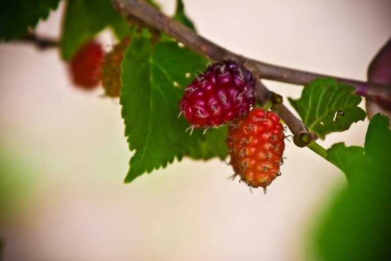 7 Loganberry